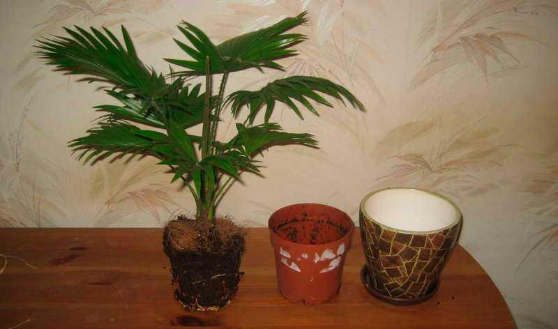 komnatnaya-palma-foto-video-vidy-palm-nazvanie-i-opisanie-rasteniya-41