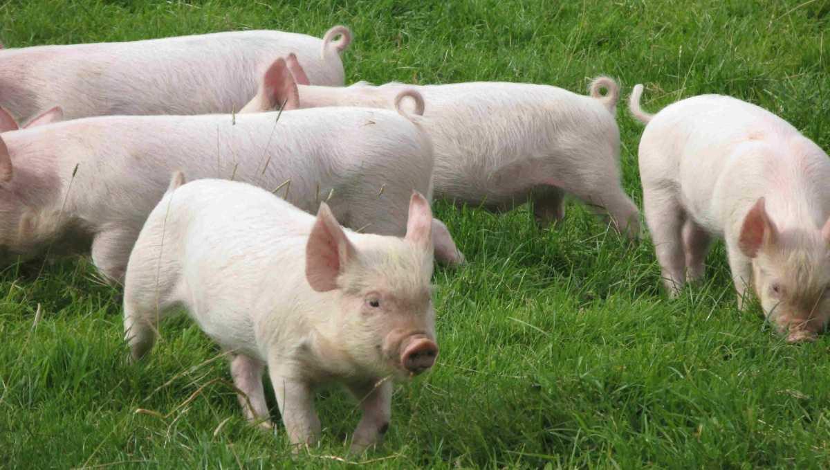 porody-svinej-foto-video-opisanie-harakteristika-otzyvy-14