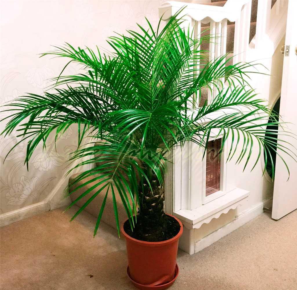 komnatnaya-palma-foto-video-vidy-palm-nazvanie-i-opisanie-rasteniya-31