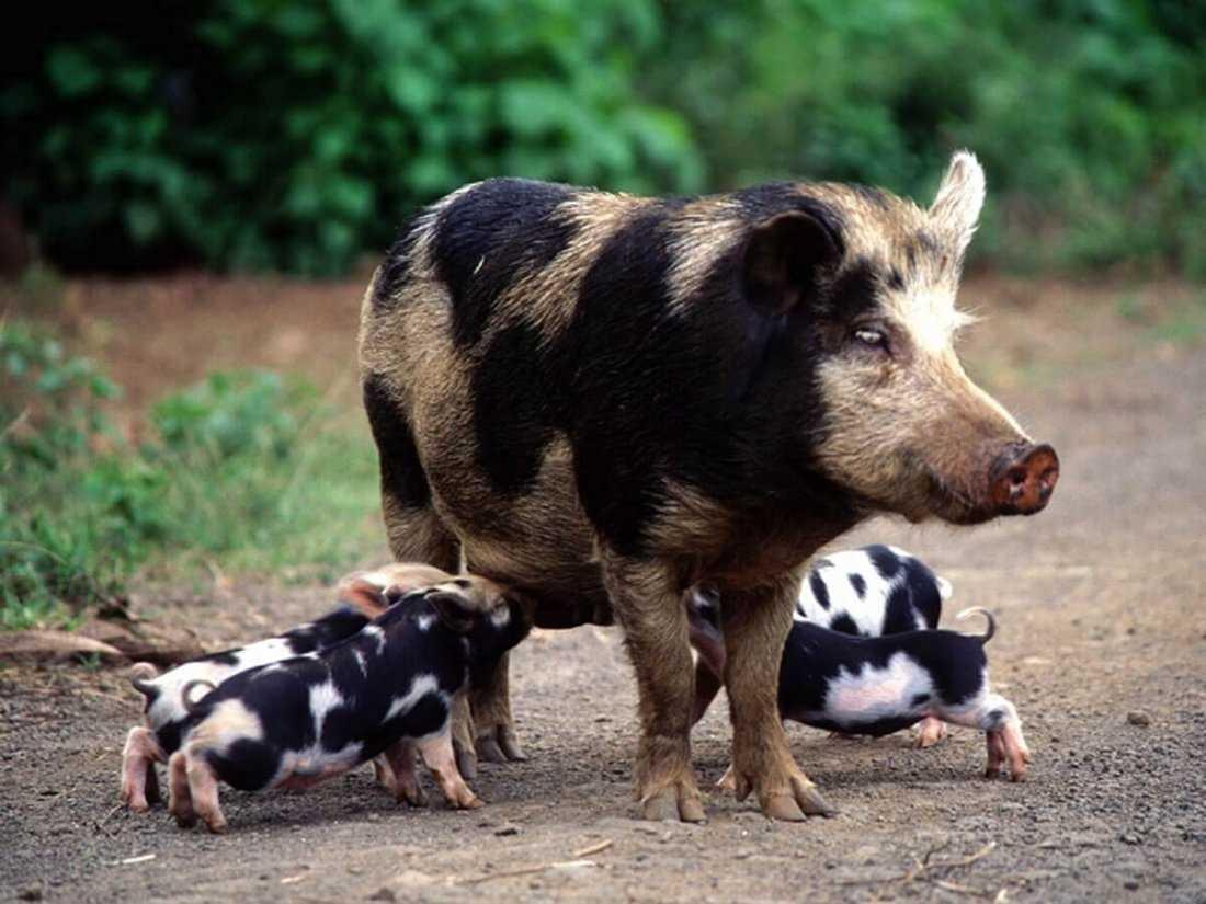 porody-svinej-foto-video-opisanie-harakteristika-otzyvy-15