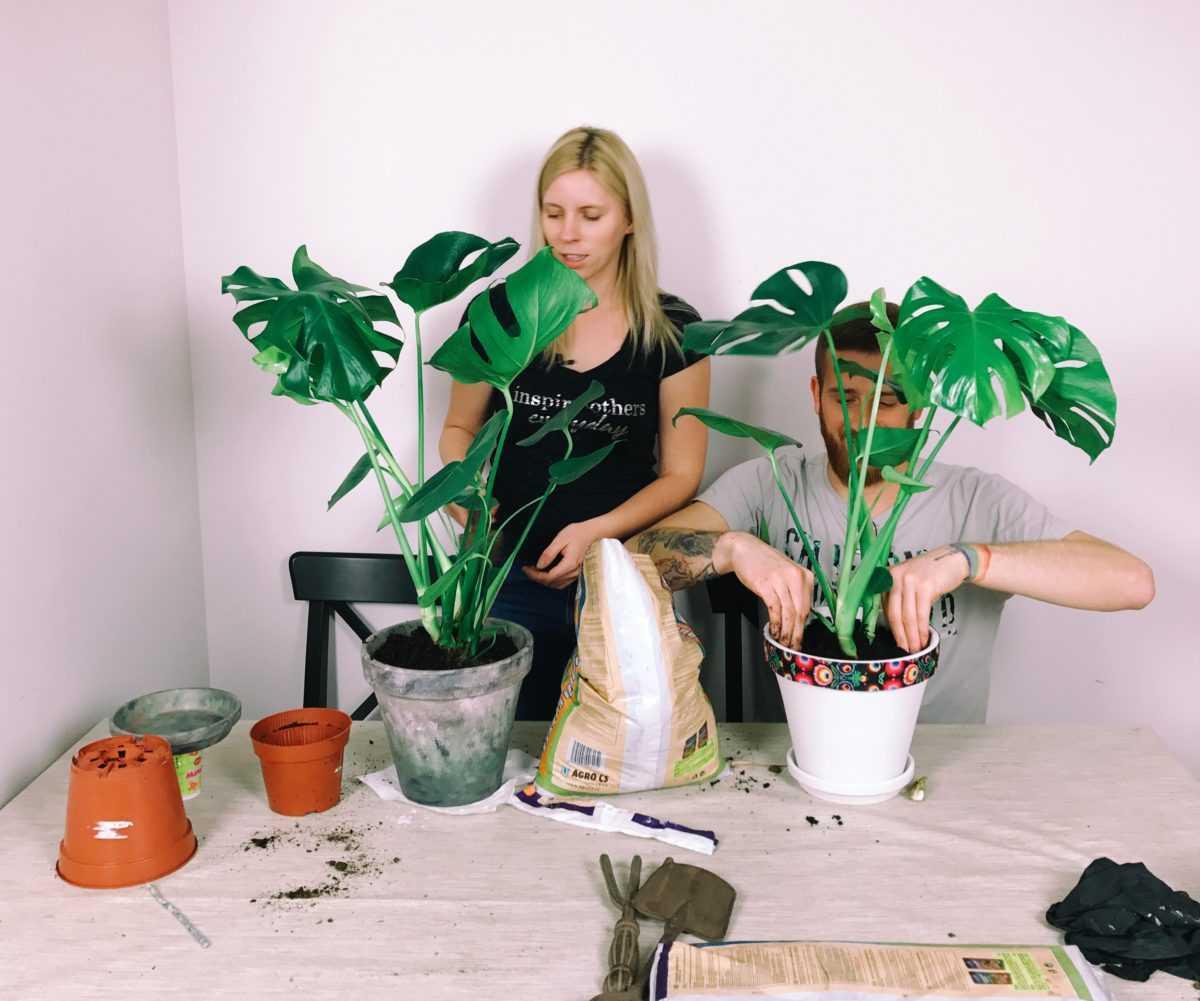 Выращиваем монстеру: особенности ухода в домашних условиях