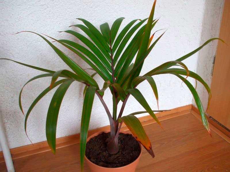 komnatnaya-palma-foto-video-vidy-palm-nazvanie-i-opisanie-rasteniya-15