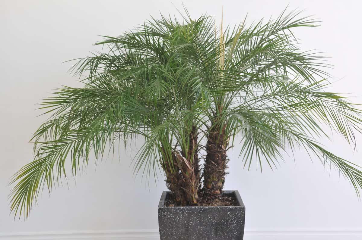 komnatnaya-palma-foto-video-vidy-palm-nazvanie-i-opisanie-rasteniya-10