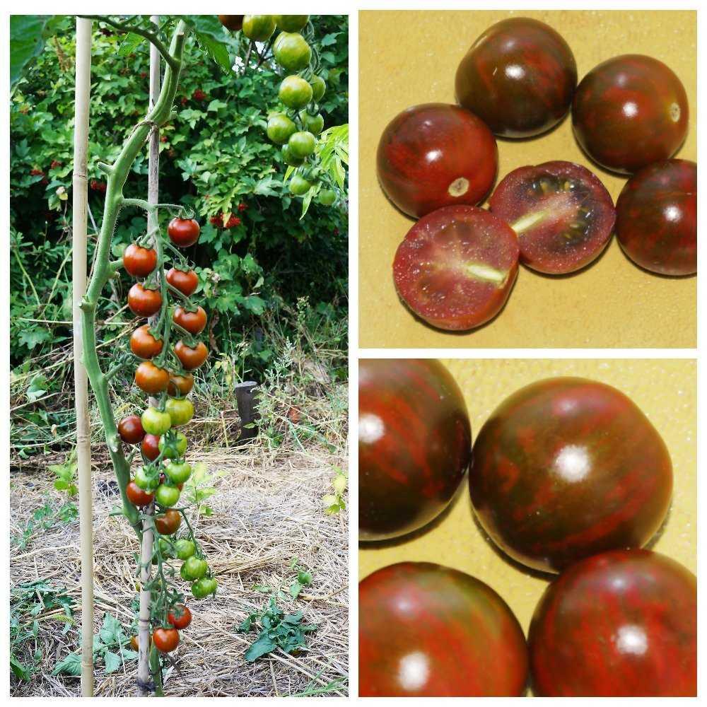 sladkie-sorta-cherri-foto-video-opisanie-tomaty-s-fruktovym-vkusom-3