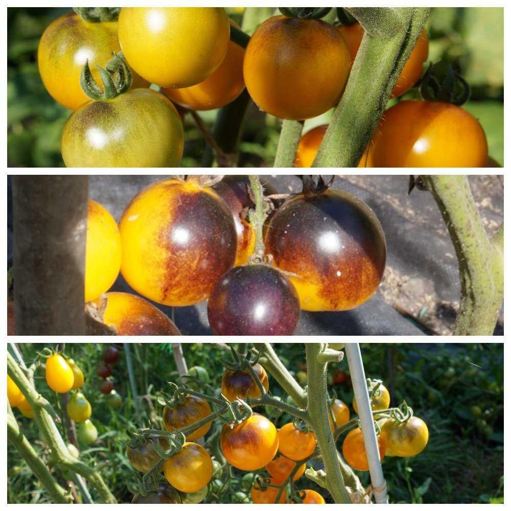 sladkie-sorta-cherri-foto-video-opisanie-tomaty-s-fruktovym-vkusom-6