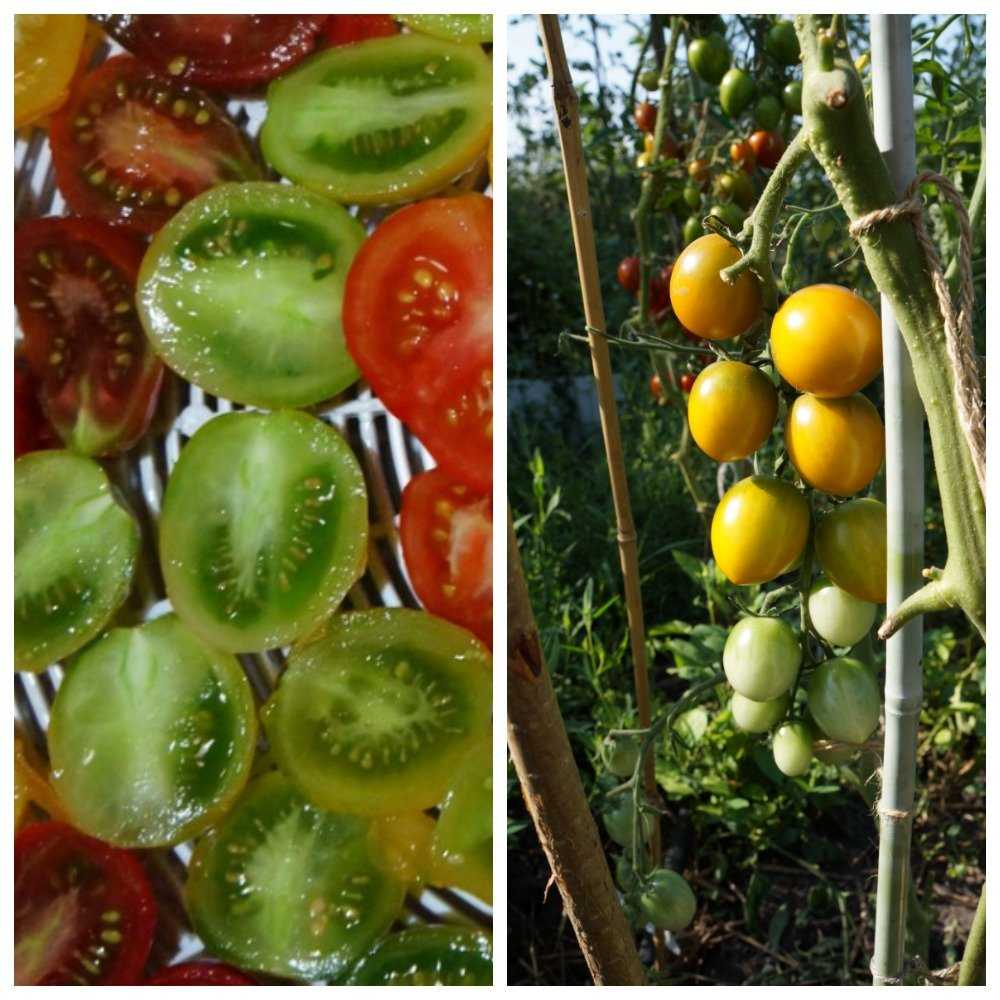 sladkie-sorta-cherri-foto-video-opisanie-tomaty-s-fruktovym-vkusom-7