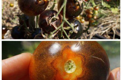 sladkie-sorta-cherri-foto-video-opisanie-tomaty-s-fruktovym-vkusom