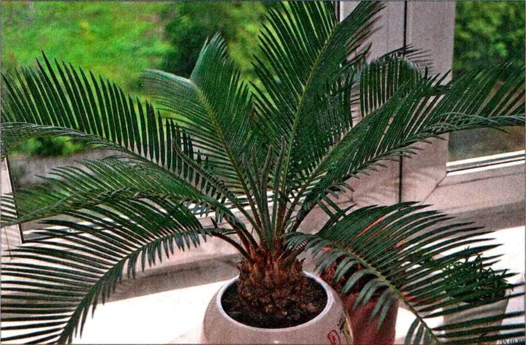 komnatnaya-palma-foto-video-vidy-palm-nazvanie-i-opisanie-rasteniya-70