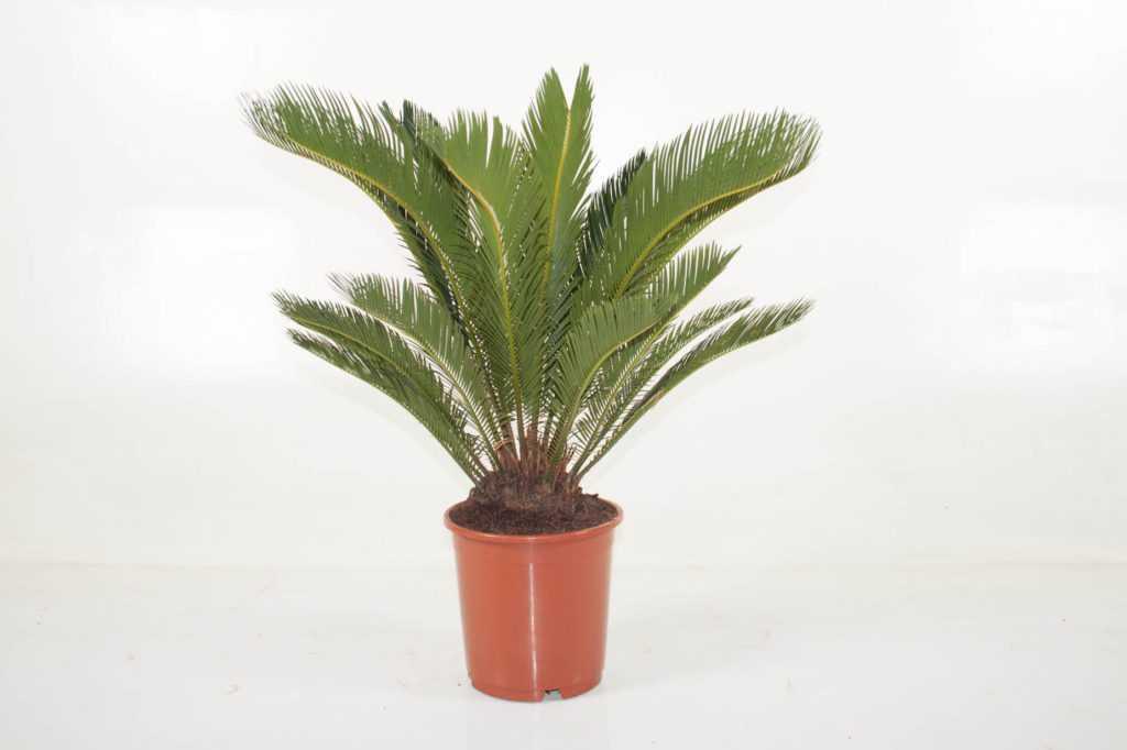 komnatnaya-palma-foto-video-vidy-palm-nazvanie-i-opisanie-rasteniya-71