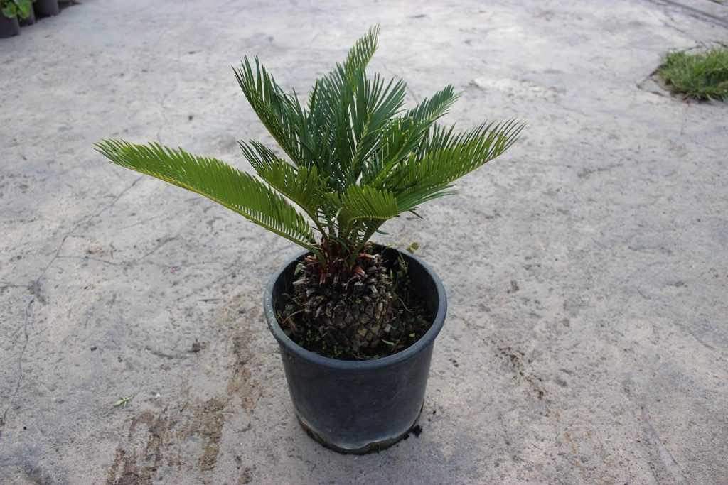 komnatnaya-palma-foto-video-vidy-palm-nazvanie-i-opisanie-rasteniya-72