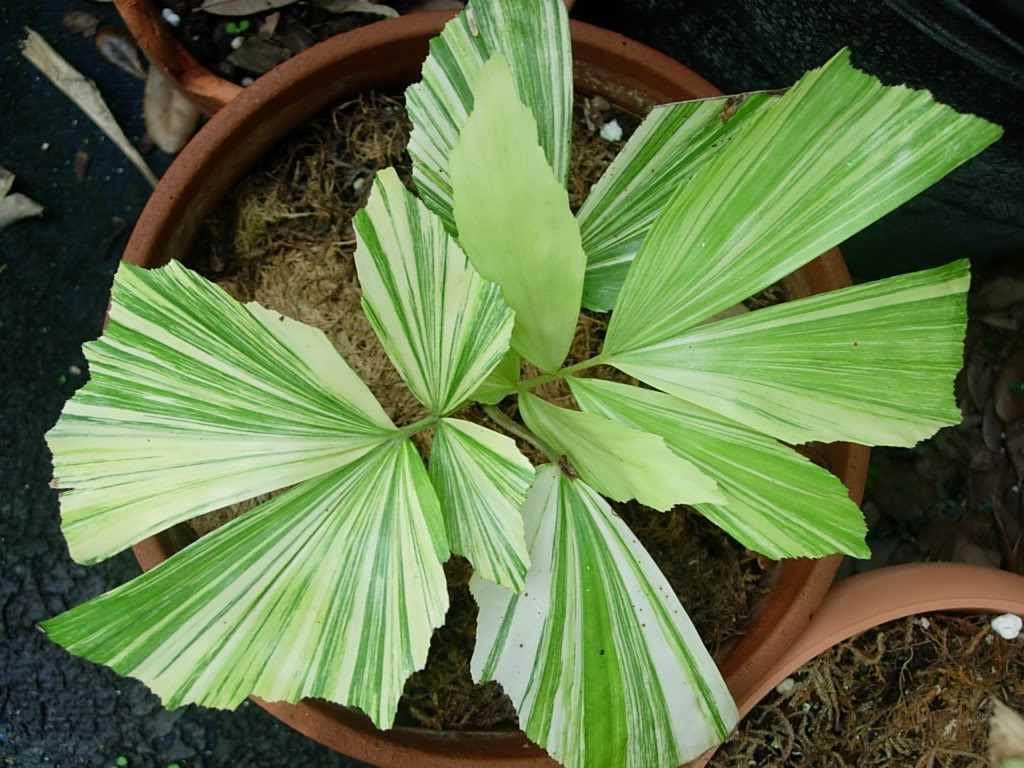 komnatnaya-palma-foto-video-vidy-palm-nazvanie-i-opisanie-rasteniya-19