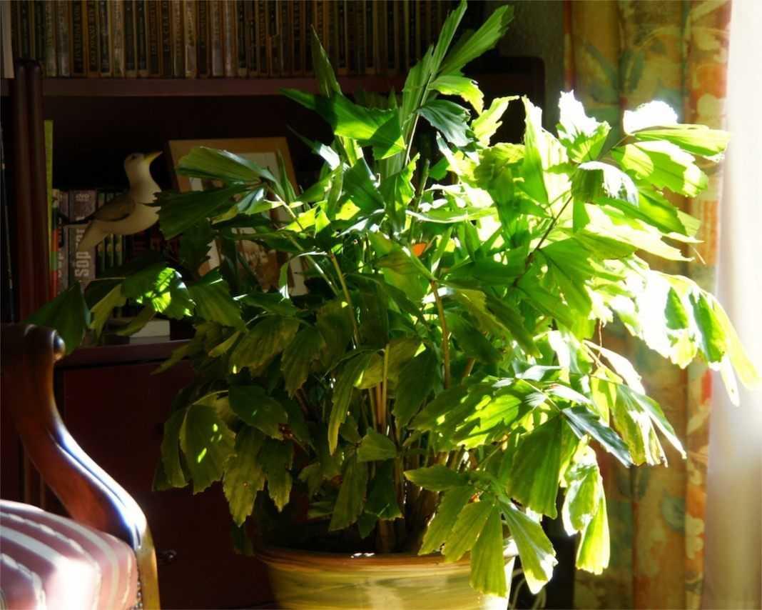 komnatnaya-palma-foto-video-vidy-palm-nazvanie-i-opisanie-rasteniya-99