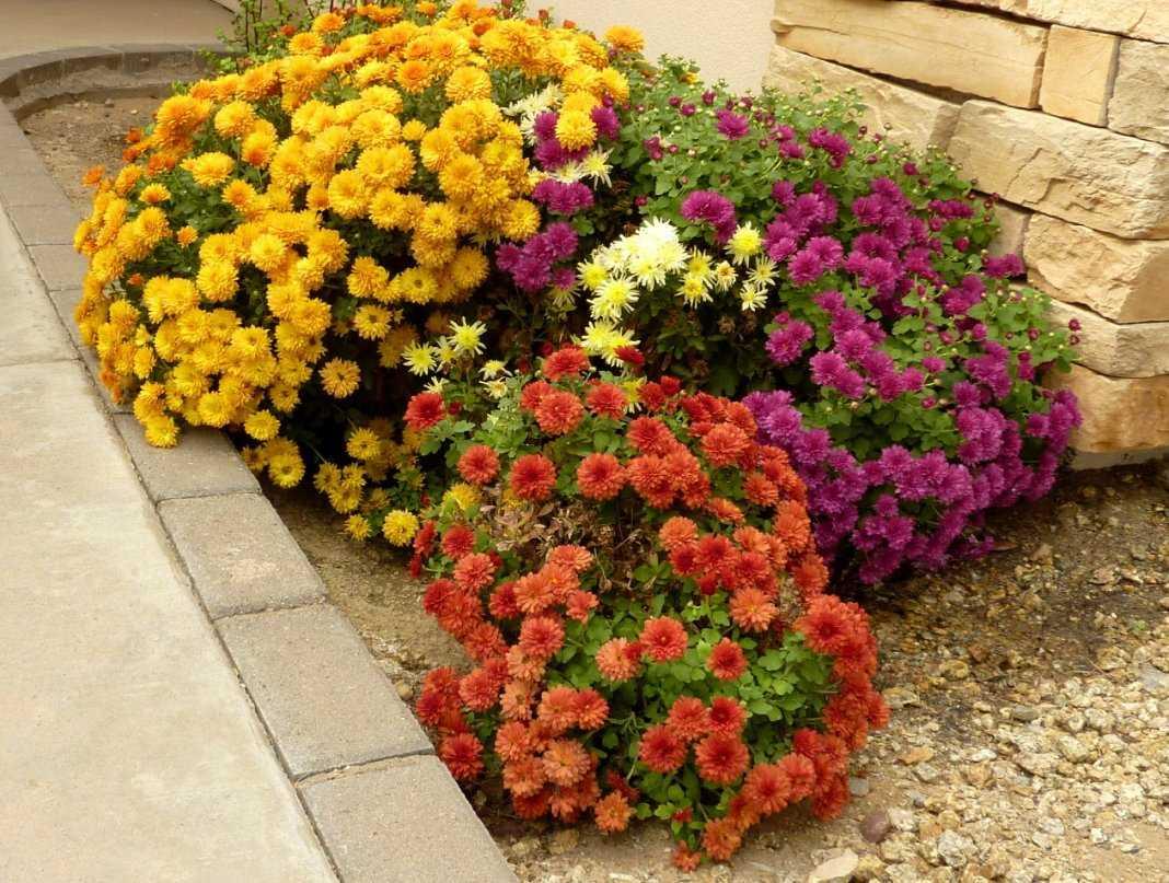 Морозоустойчивые хризантемы