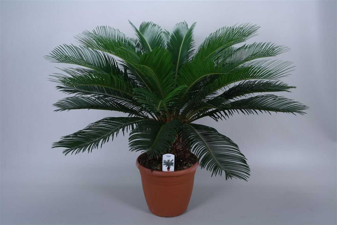 komnatnaya-palma-foto-video-vidy-palm-nazvanie-i-opisanie-rasteniya-9