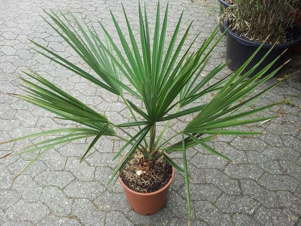 komnatnaya-palma-foto-video-vidy-palm-nazvanie-i-opisanie-rasteniya-26