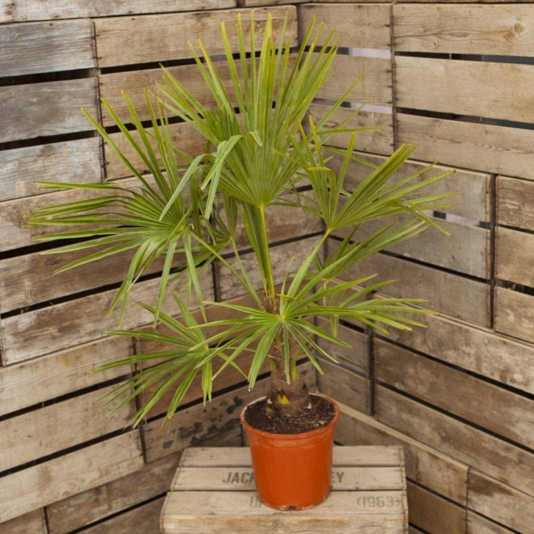 komnatnaya-palma-foto-video-vidy-palm-nazvanie-i-opisanie-rasteniya-28