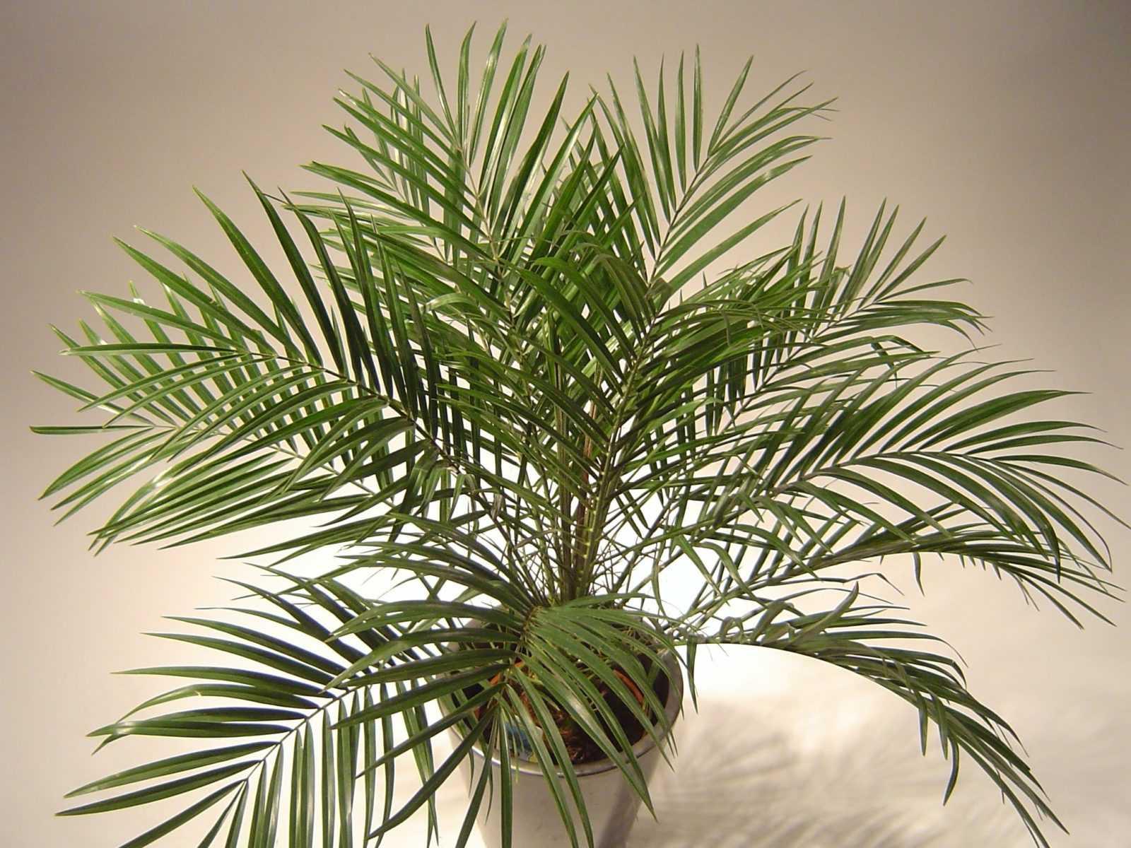 komnatnaya-palma-foto-video-vidy-palm-nazvanie-i-opisanie-rasteniya-30