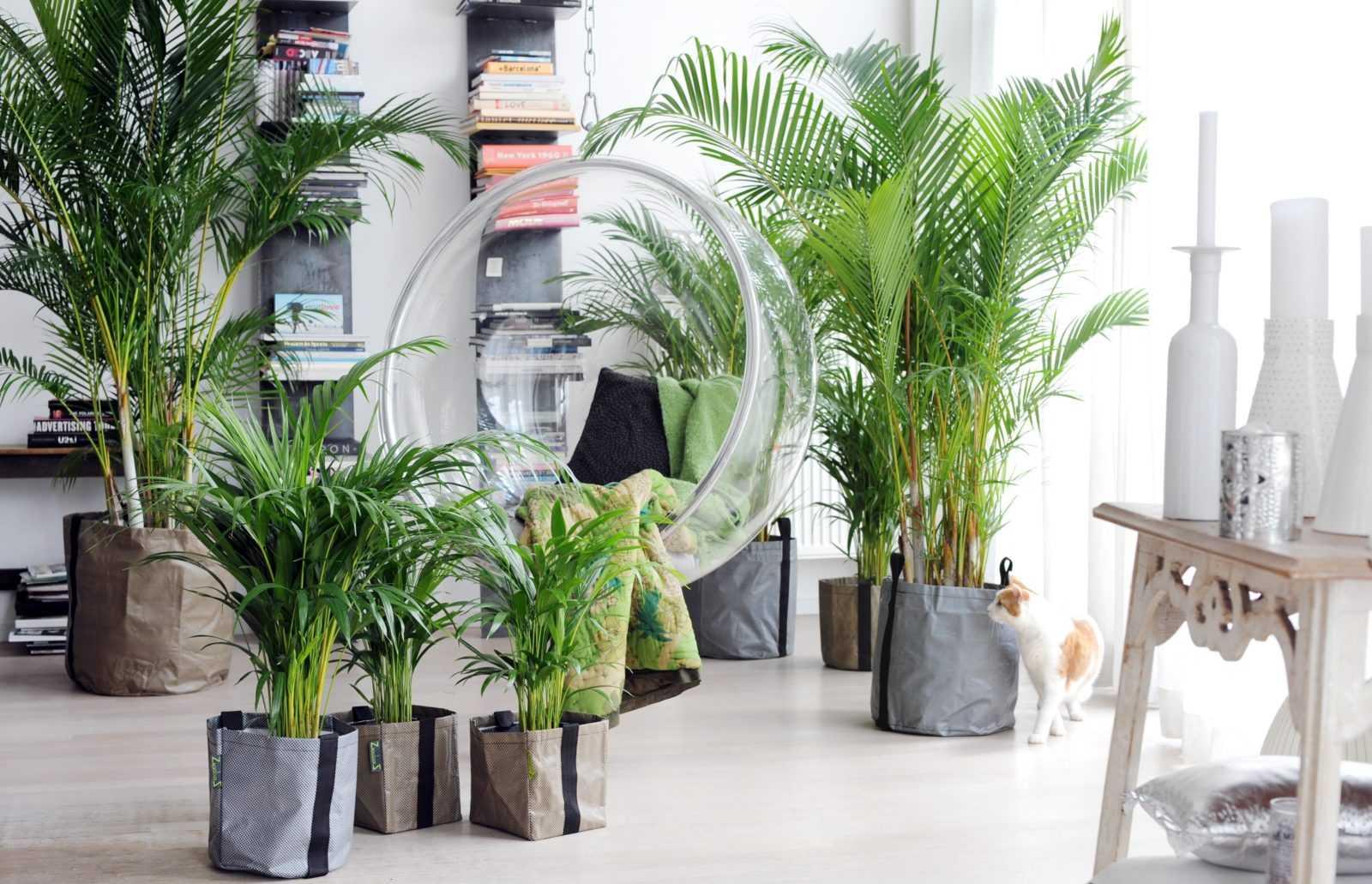 komnatnaya-palma-foto-video-vidy-palm-nazvanie-i-opisanie-rasteniya-6