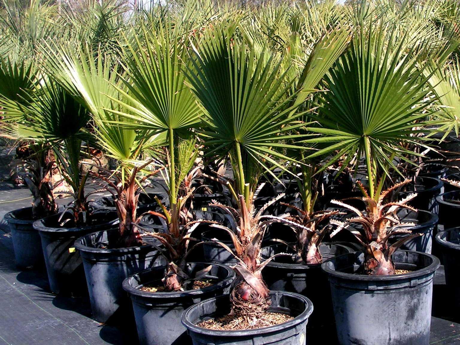komnatnaya-palma-foto-video-vidy-palm-nazvanie-i-opisanie-rasteniya-37