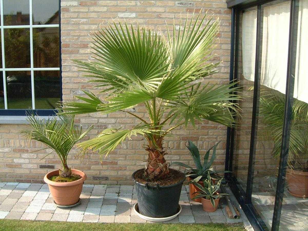 komnatnaya-palma-foto-video-vidy-palm-nazvanie-i-opisanie-rasteniya-12
