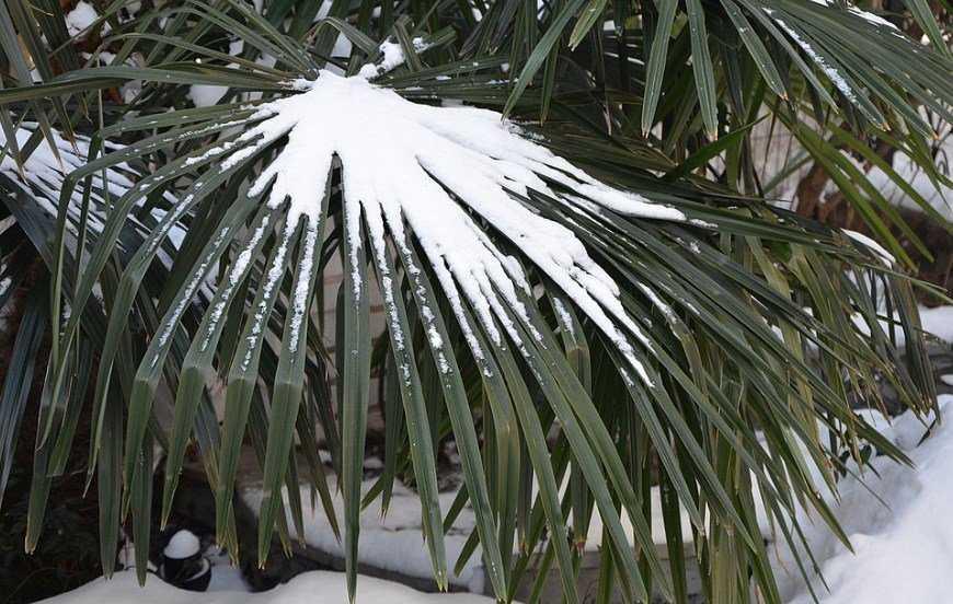 komnatnaya-palma-foto-video-vidy-palm-nazvanie-i-opisanie-rasteniya-38