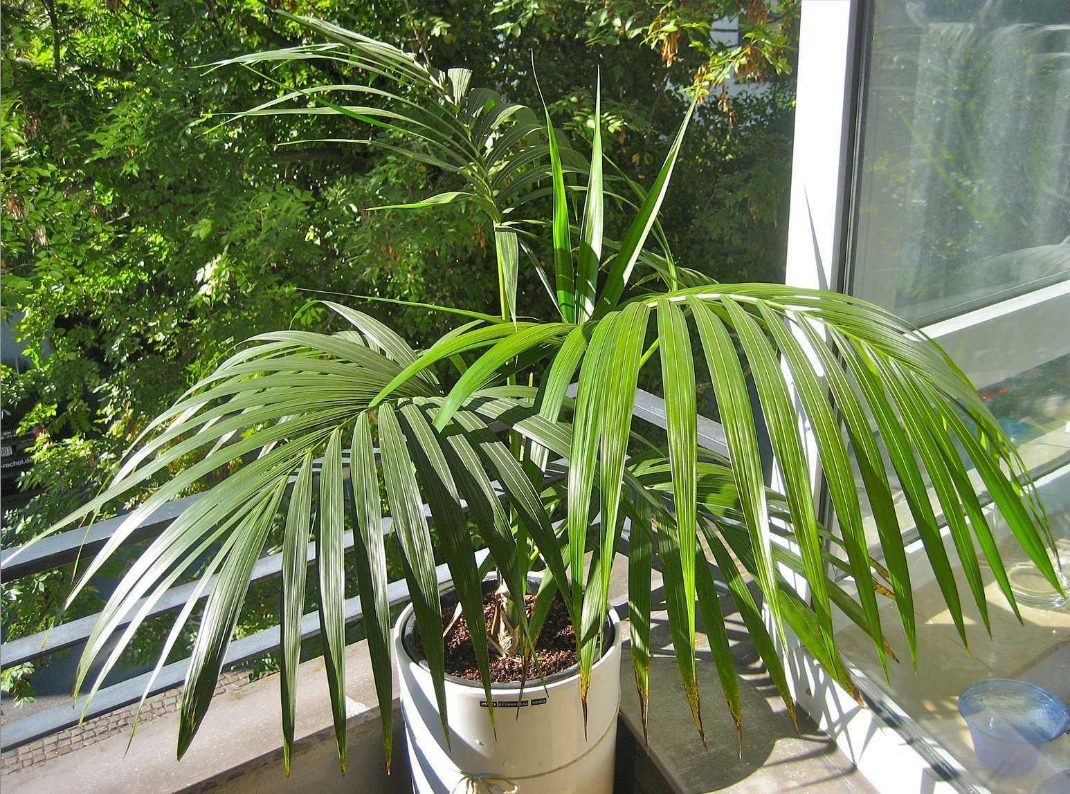komnatnaya-palma-foto-video-vidy-palm-nazvanie-i-opisanie-rasteniya-16