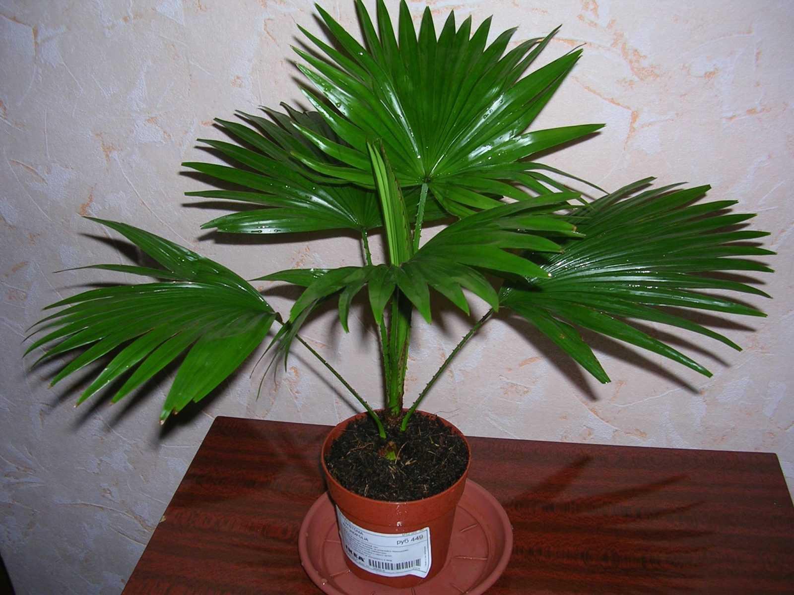 komnatnaya-palma-foto-video-vidy-palm-nazvanie-i-opisanie-rasteniya-20