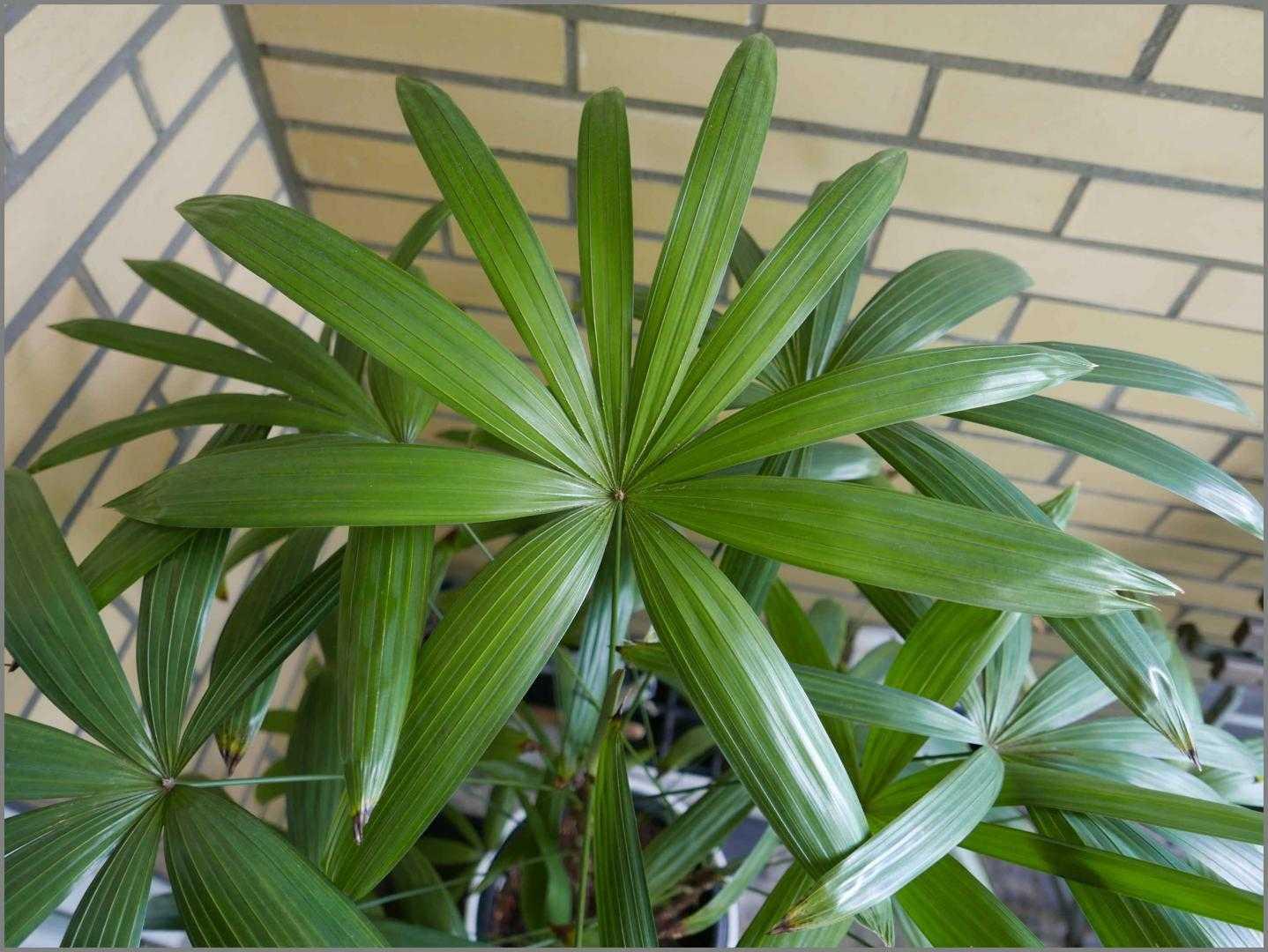 komnatnaya-palma-foto-video-vidy-palm-nazvanie-i-opisanie-rasteniya-22