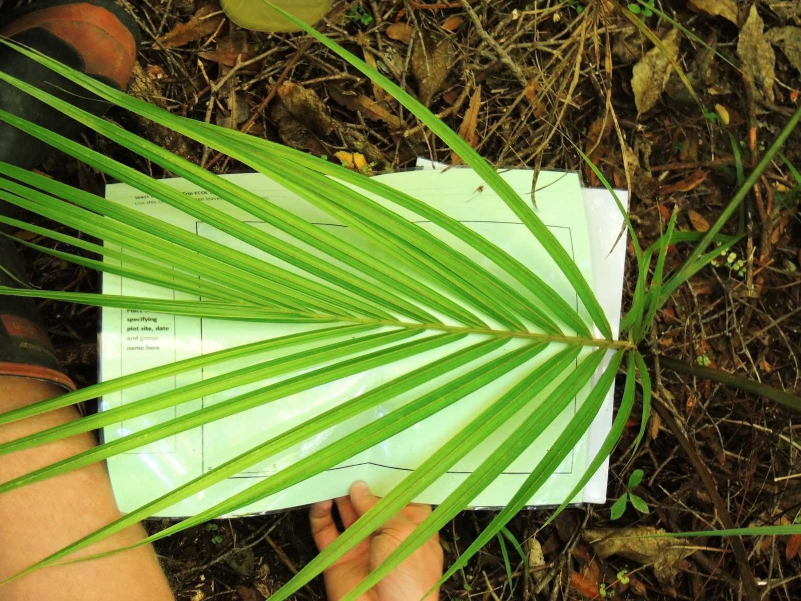 komnatnaya-palma-foto-video-vidy-palm-nazvanie-i-opisanie-rasteniya-24