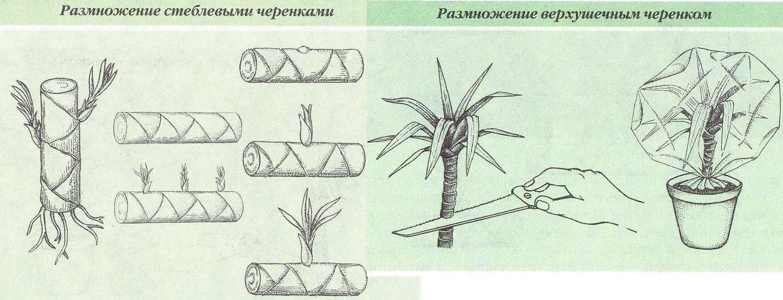 dratsena-domashnyaya-foto-video-uhod-v-domashnih-usloviyah-11