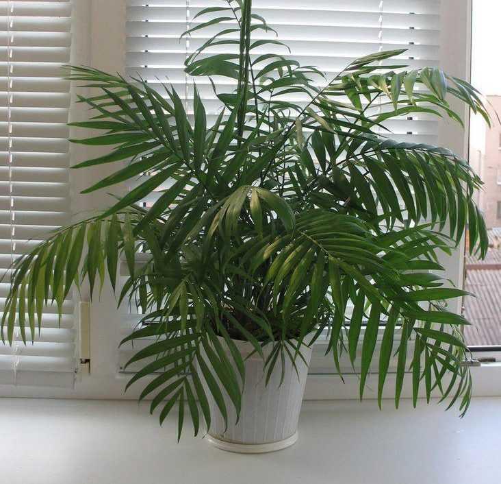 komnatnaya-palma-foto-video-vidy-palm-nazvanie-i-opisanie-rasteniya-33
