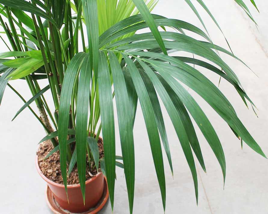 komnatnaya-palma-foto-video-vidy-palm-nazvanie-i-opisanie-rasteniya-17