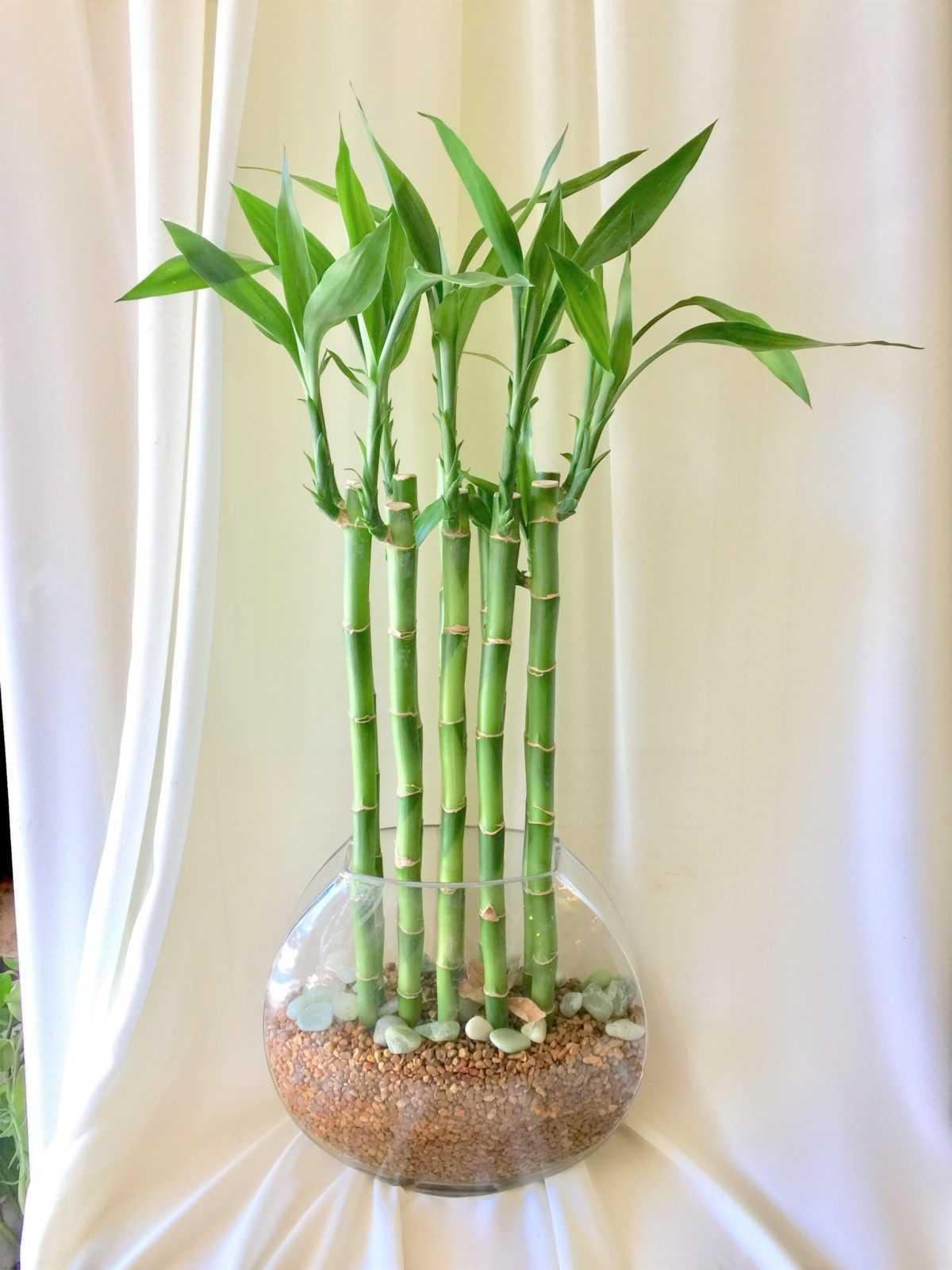 kak-vyrastit-komnatnyj-bambuk-foto-video-posadka-razmnozhenie-uhod-19