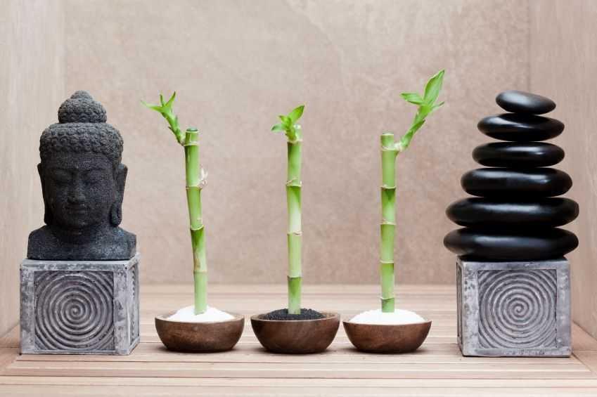 kak-vyrastit-komnatnyj-bambuk-foto-video-posadka-razmnozhenie-uhod-4