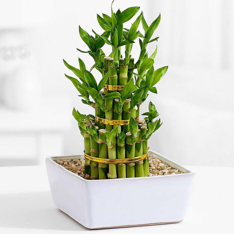 kak-vyrastit-komnatnyj-bambuk-foto-video-posadka-razmnozhenie-uhod-5