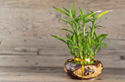 kak-vyrastit-komnatnyj-bambuk-foto-video-posadka-razmnozhenie-uhod