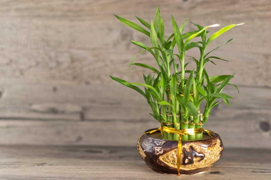 kak-vyrastit-komnatnyj-bambuk-foto-video-posadka-razmnozhenie-uhod-1
