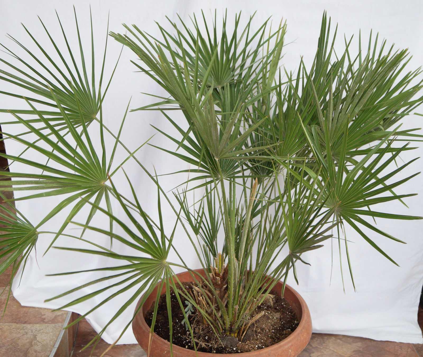 komnatnaya-palma-foto-video-vidy-palm-nazvanie-i-opisanie-rasteniya-35
