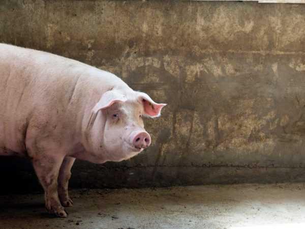 porody-svinej-foto-video-opisanie-harakteristika-otzyvy-7