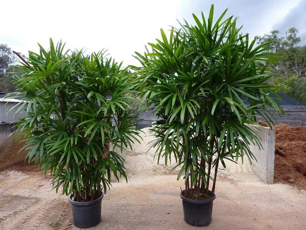 komnatnaya-palma-foto-video-vidy-palm-nazvanie-i-opisanie-rasteniya-23