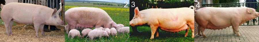 soderzhanie-svinej-pravila-vyrashhivaniya-svinej-v-domashnih-usloviyah-8