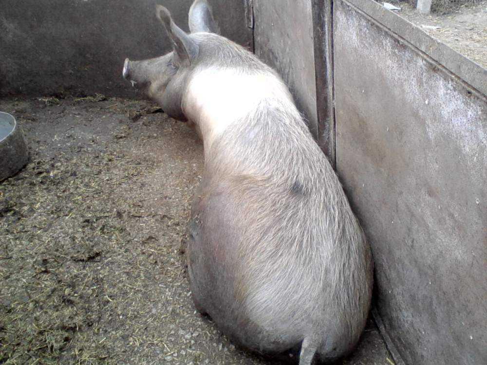 svini-krasnopoyasye-foto-video-opisanie-i-harakteristika-porody