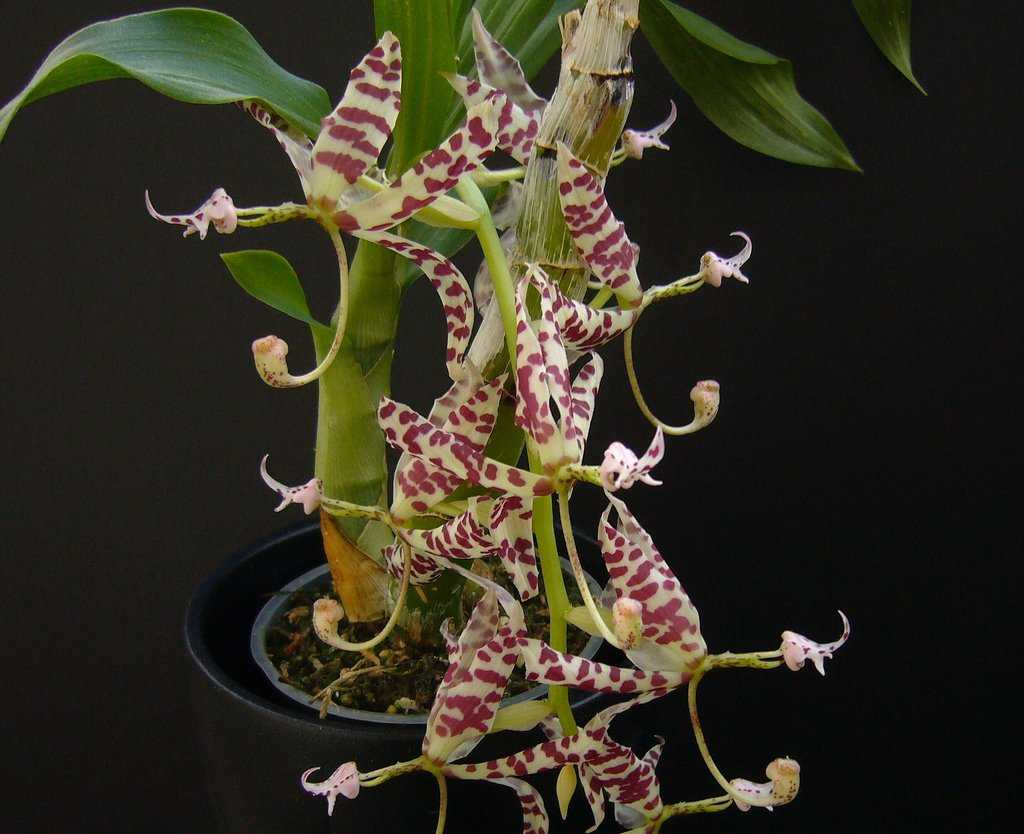 aromatnye-orhidei-foto-video-nazvanie-i-opisaniya-vidov-3