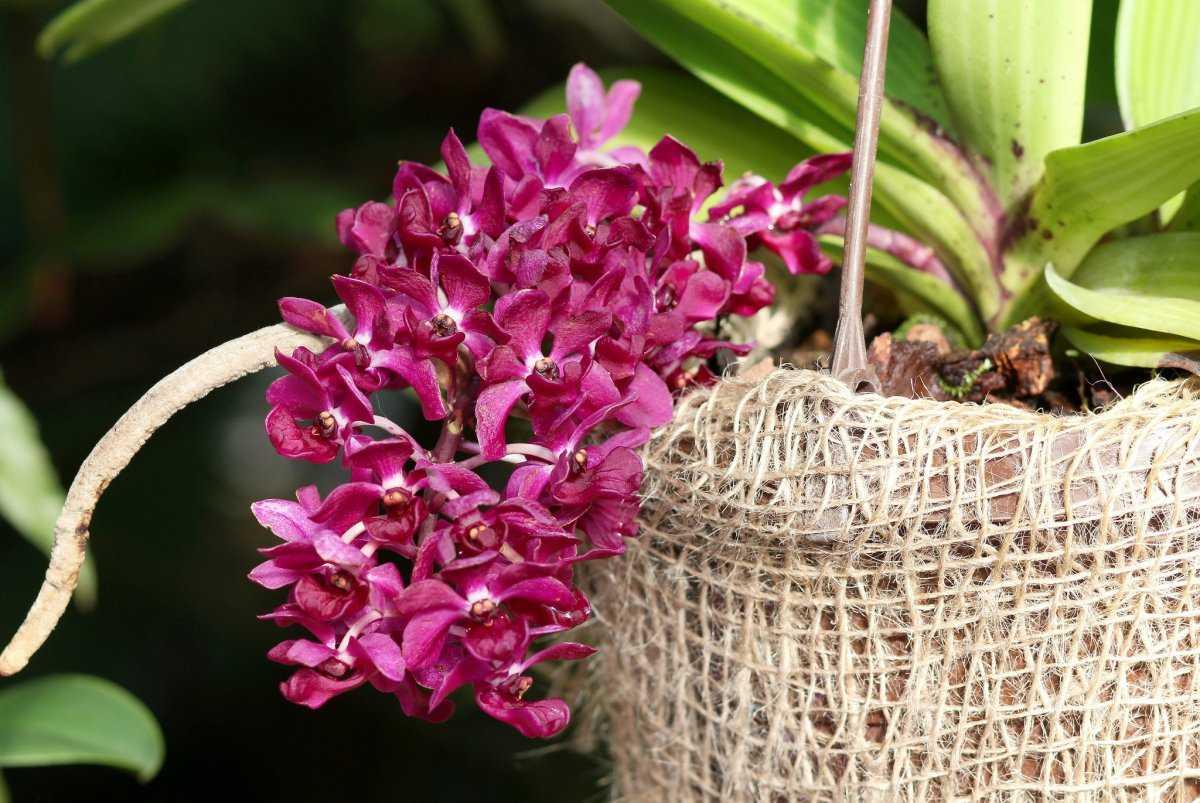 aromatnye-orhidei-foto-video-nazvanie-i-opisaniya-vidov-4