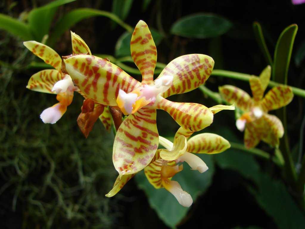 aromatnye-orhidei-foto-video-nazvanie-i-opisaniya-vidov-6