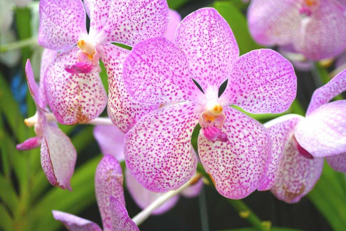 aromatnye-orhidei-foto-video-nazvanie-i-opisaniya-vidov-8