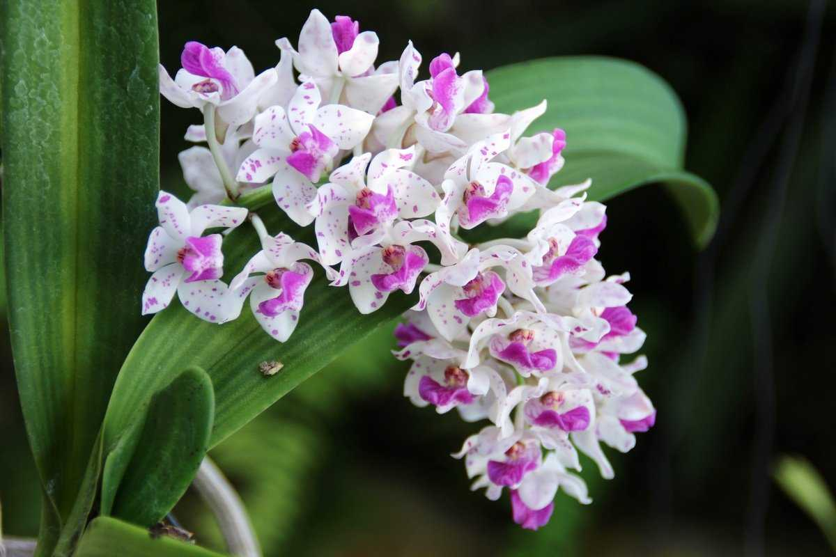 aromatnye-orhidei-foto-video-nazvanie-i-opisaniya-vidov-1