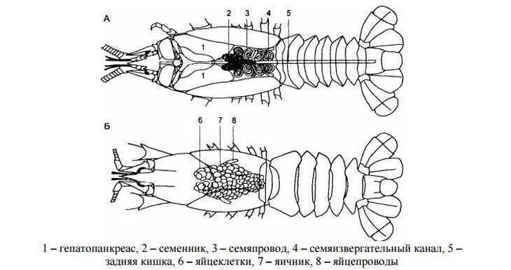 razvedenie-rakov-v-domashnih-usloviyah-foto-video-usloviya-vyrashhivaniya-18