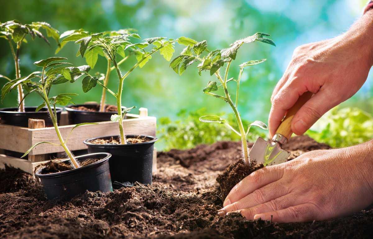Когда высаживать рассаду помидор в открытый грунт: схема и сроки посадки томатов-1
