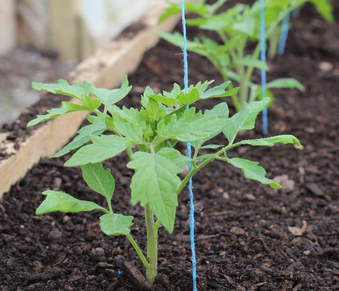 Когда высаживать рассаду помидор в открытый грунт: схема и сроки посадки томатов-3